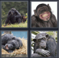 4-pics-1-word-chimp