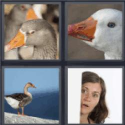 4-pics-1-word-gander