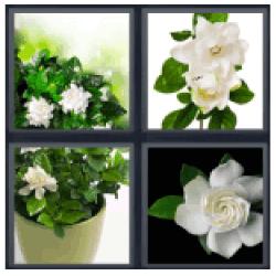 4-pics-1-word-gardenia