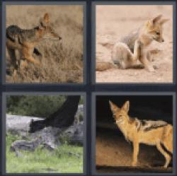 4-pics-1-word-jackal