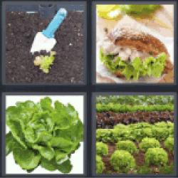 4-pics-1-word-lettuce