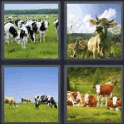 4-pics-1-word-cows