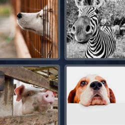 4 pics 1 word dog zebra pig